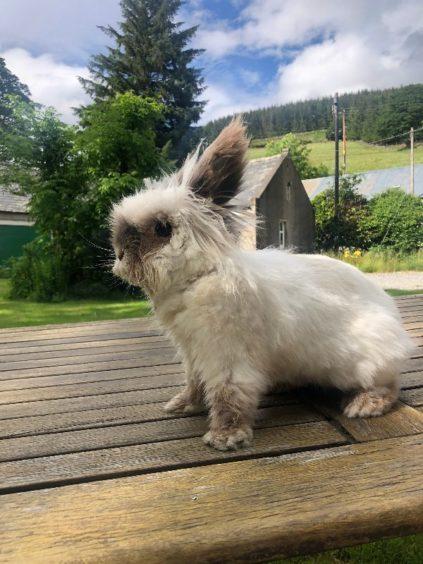 154 - Patch (Lionhead - Rabbit)