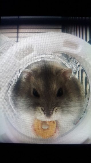 358 - Biff (Winter White Dwarf Hamster)