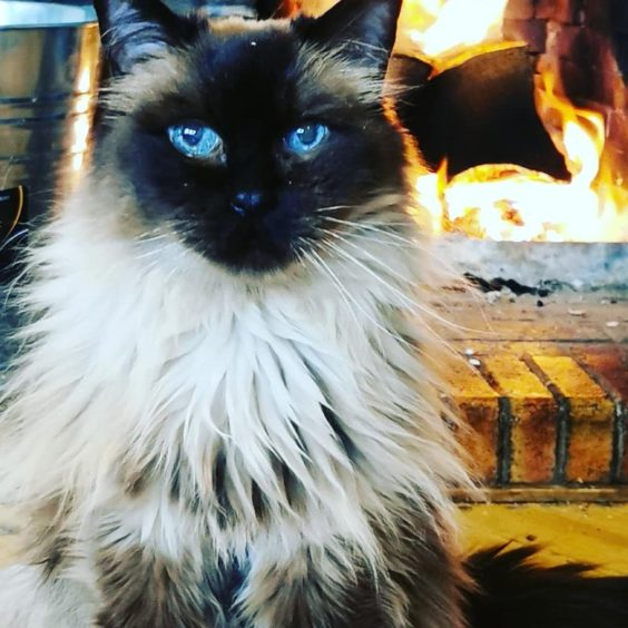 367 - D'Arcy (Cat)