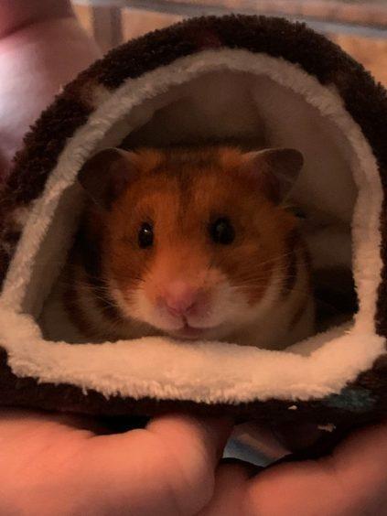 397 - Ginger (Syrian Hamster)