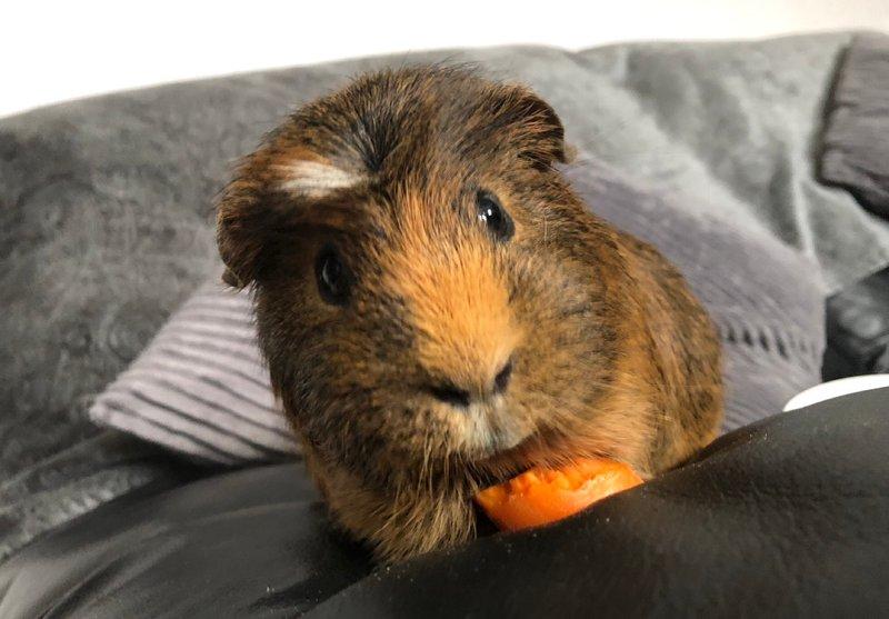 461 - Oscar (American Crest guinea pig)