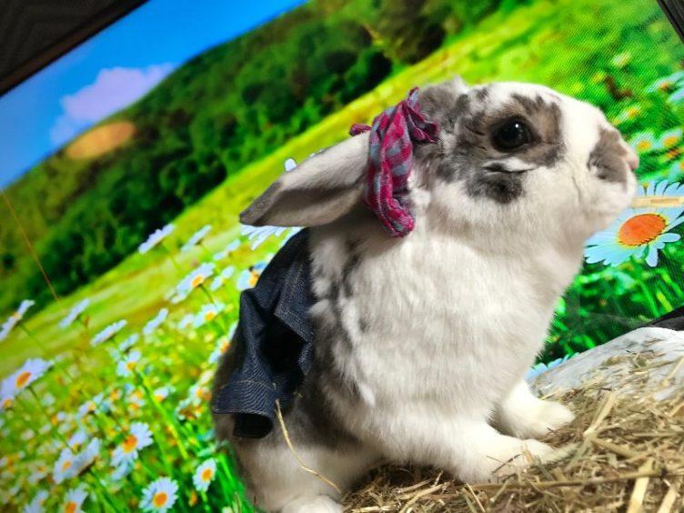 472 - Clover (Dwarf Rabbit)