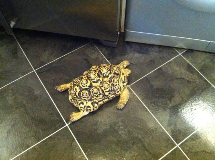 56 - Shelby (Leopard Tortoise)