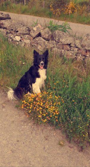 563 - Ben Christie (Dog)