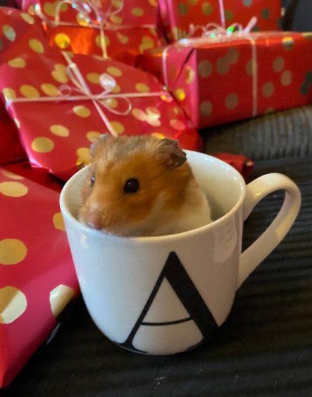 589 - Hunter (Syrian Hamster)