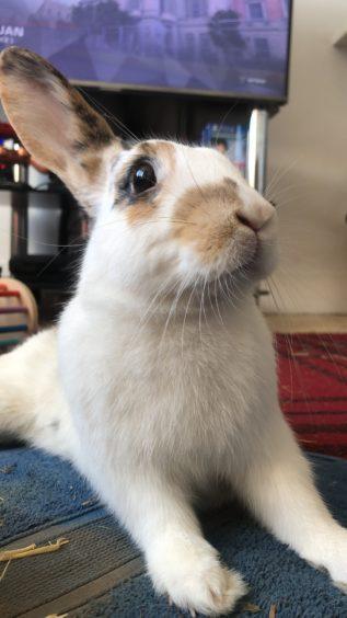 830 - Milan (Rabbit)