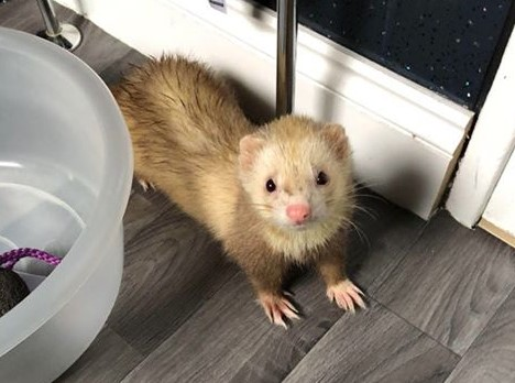 The ferret was found on Springhill Road