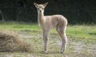 A baby alpaca has been born in Aberdeen