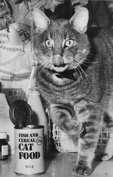 1984: Handsome cat, Smokey, pet of Mrs Sandra Morrice, 1 Jesmond Avenue, Bridge of Don, knows what keeps him sleek and adorable, so he doesn't always wait until official meal times. Sometimes he helps himself to a small snack on the sly. Beats raking through a smelly dustbin!