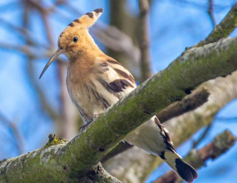 A rare hoopoe has been spotted at Pittodrie Stadium after being blown off course during Storm Alex. Picture: Gavin Park
