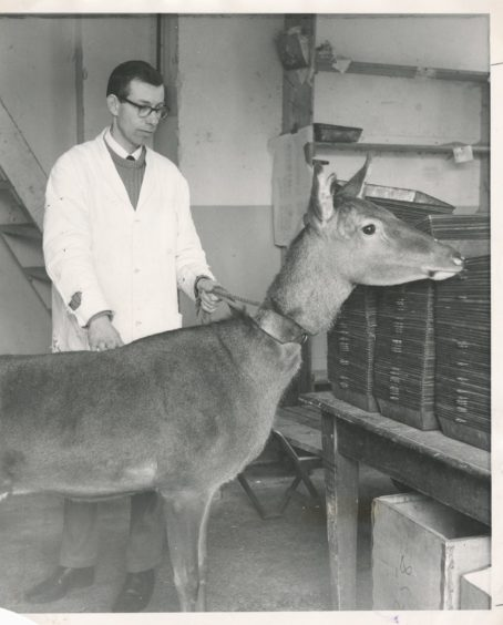 1968: Mr Edwin Goodall with Amina, one of the Rowett Institute's red deer hinds. Comparisons are being made of digestion and metabolism in red deer and sheep.