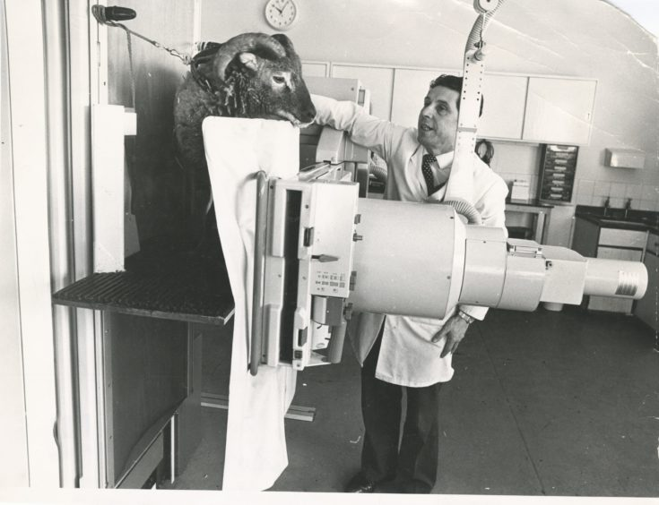 1979: Rowett Institute scientist Gordon Wenham prepares to X-ray a Soay sheep - one of a flock kept at the Rowett. Soay sheep are among Scotland's oldest native breeds.