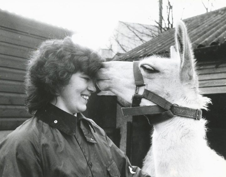 1987: The search for alternative forms of fibre production knows no bounds - as scientists at the Rowett Research Institute, Aberdeen, are trying to prove. Experiements are beginning to assess the fibre of cameloids in the UK, centering on the South American llama. The first research project of this type in the UK is being headed by Dr Clare Adam, who is in charge of the red deer section at the Rowett, in conjunction with scientists from the Macaulay Land Use Research Institute in Aberdeen.