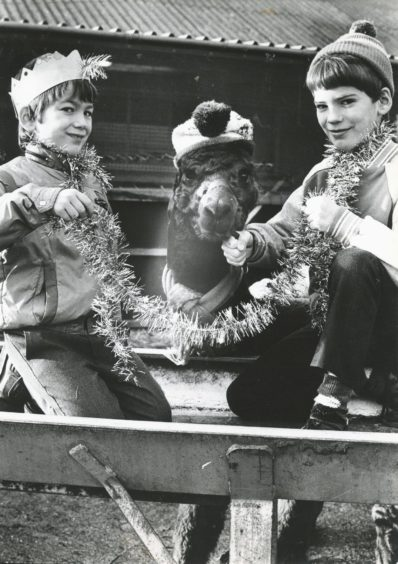 1988: Wrapping up warm for Christmas was not strictly necessary for this unseasonally warm Yuletide but one must enter the spirit of things and dress the part...Poodle, one of the llamas at the Rowett Institute, Aberdeen, gets a tinsel wrap from Colin (left) and Gordon Thomson, sons of the stockman at the Rowett, who visited him to wish him all the compliments of the season.