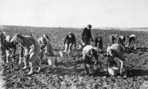 Tattie picking was a way of life for many young boys and girls in the north-east.