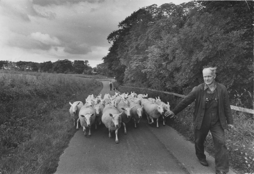 1974: Time for a change of pasture as Bill Smith shepherds his valuable flock of half-bred ewes along the Tillygreig Road to Kinghorn Farm, on Straloch Estate, near Newmachar, Aberdeenshire.