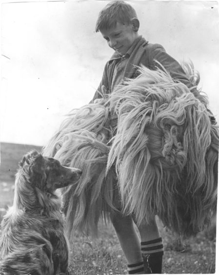 1949: Peter Cafferty gives a hand with the camping of the fleece after shearing on the farm of Easter Fodderletter.