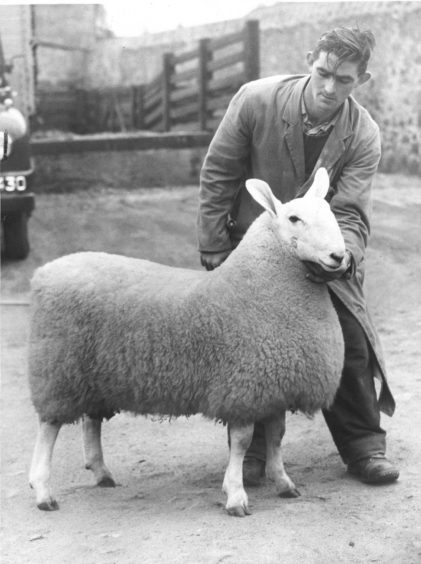 1958: The champion Border Leicester ram lamb entered by Messrs Thompson and Muir (Kinpurney) at the Aberdeen ram sale.
