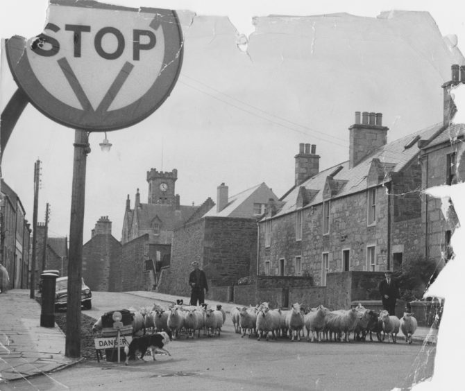 1969: Now then, mind your crossing drill.  The collie helps to steer Shetland lambs through Lerwick traffic hazards on their way to the harbour for shipment to Aberdeen.