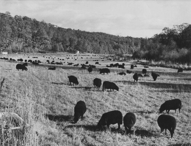 1972: Ba-ba a beautiful flock of black sheep belonging to Lady Muriel Barclay-Harvey of Dinnet grazing in a field by the River Dee near Ballater.