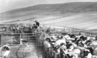 1979: Casting ewes using special pens at a farm in the Glens of Foundland, between Inverurie and Huntly.