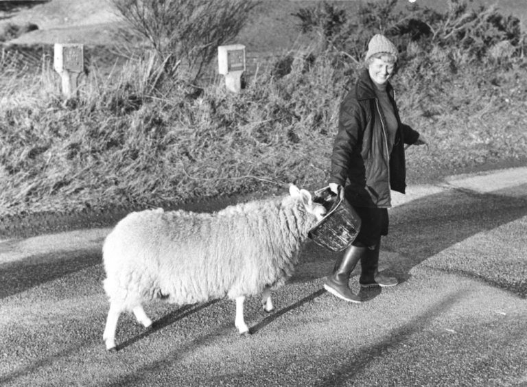 1983: Mary's not-so-little lamb hits the pall trail in the sunshine on the South Deeside Road, Maryculter, yesterday. Luring her fleecy friend along to pastures new – helped by a bucket banquet – is Mrs Mary Blackhall, Milton of Durris, Durris. And, like sheep everywhere, the rest of the flock are following along behind them