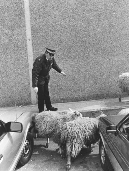 1984: Police in Aberdeen took seven sheep into custody today after they made an escape bid from a lorry in the city centre. The seven sheep were being taken to Perth by Peter G. Barclay of Portsoy, when the driver of the lorry was forced to stop suddenly in Market Street. The wood above the lorry cab gave way and seven of the sheep slid 12ft on to the road in Market Street. But instead of making a clean break for it, they headed straight into the harbour board compound where colleagues of the driver helped round them up. Mr Bob Durno, of 35 North Street, Aberchirder, said he and his friend, Eddie Christie, of 70 Forglen Crescent, Turriff, were having dinner in a café opposite the junction with Market Street and Albert Quay. They saw the accident and raced out to help.
