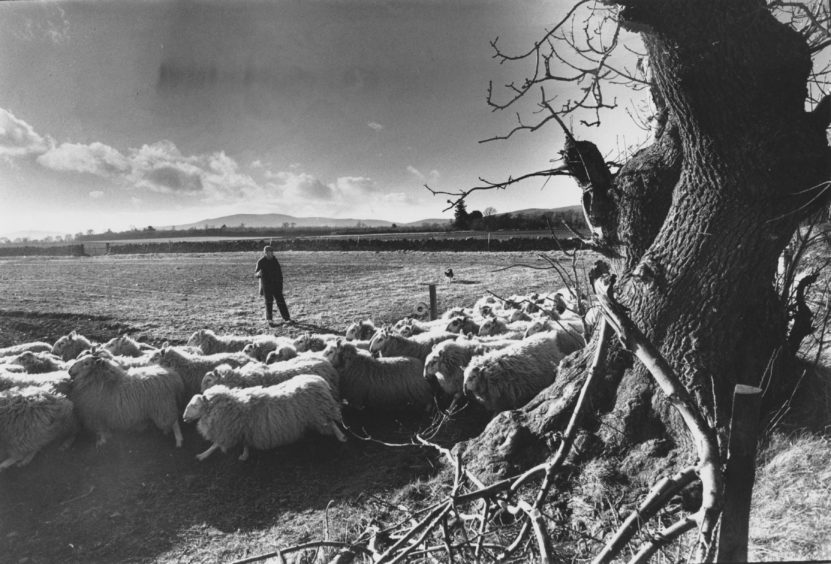 1989: Monymusk shepherd Ian Wilkie, with dog Gail, at work at Blairdaff moving Greyface gimmers on to new pastures in the early spring sunshine. The flock are due to lamb from April 1 onwards.