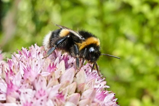 Mandatory Credit: Photo by Geoffrey Swaine/Shutterstock (10760686b) A White Tailed Bumblebee (Bombus lucorum) collects pollen from the Livelong Flowers (Hylotelephium telephium) on an overcast day Seasonal weather, Emmer Green, Reading, UK - 31 Aug 2020