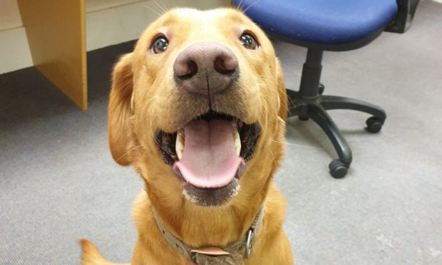 The golden retriever was found and handed into Keith police station.