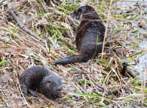 The otters at the banks of the River Don.  Supplied by Erskine Logan.