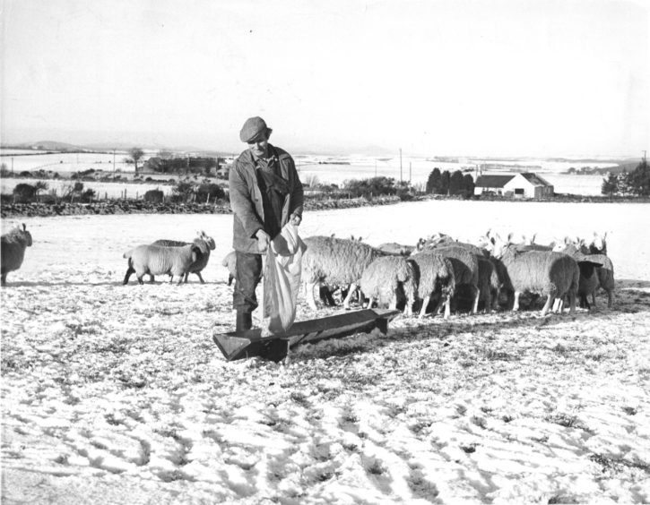 1978: Another wintry scene this time at Bogfon, Maryculter, as farmer Mr William Blackhall lays out feeding for his sheep.