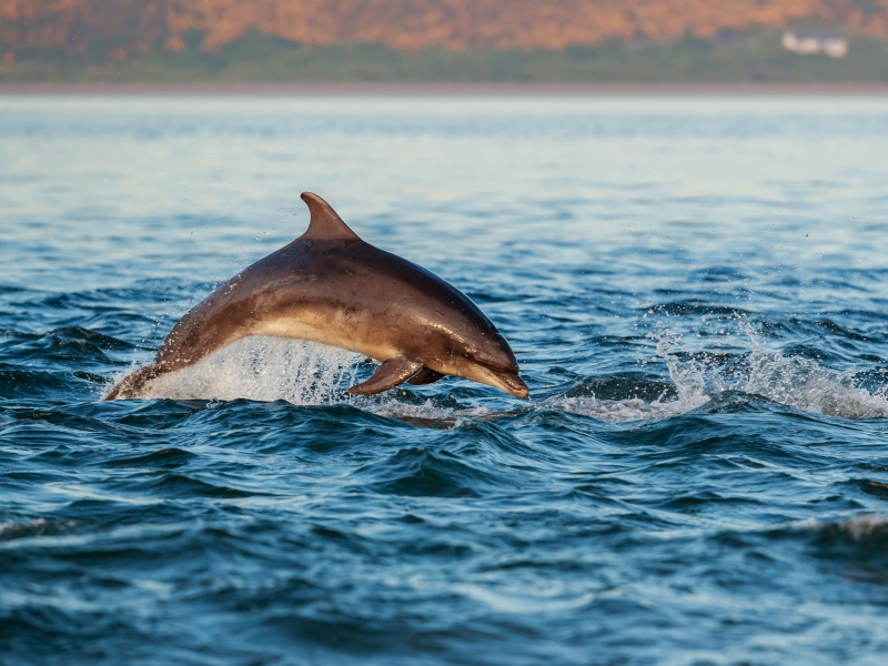 Dolphins in the Moray Firth.