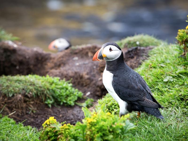 Atlantic Puffin, Treshnish Isles.