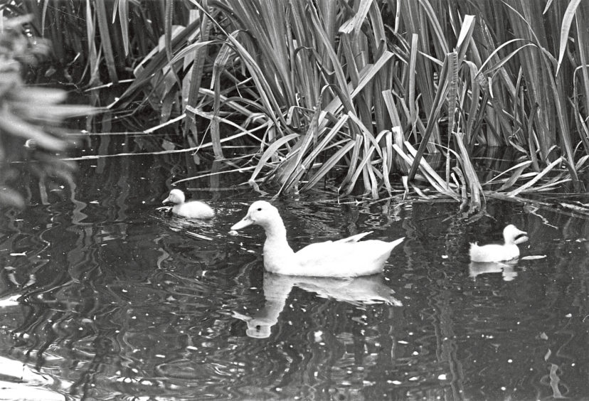 1981: Lucky duck  this contented resident of the Johnston Garden pond, enjoying a paddle with a younger playmate, is the happy outcome of a rescue story.