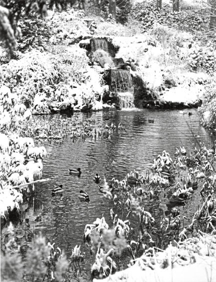 1982: Its doubtful if the ducks appreciate the transforming beauty which snow clusters give to this corner of Aberdeens charming Johnston Gardens.