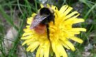 Blaeberry Queen bumblebee (Bombus monticola)