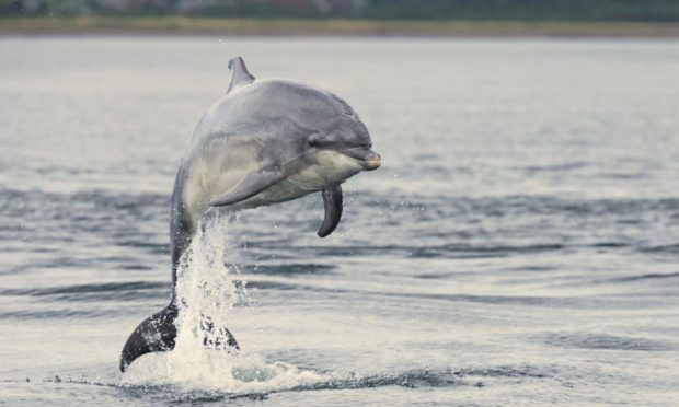 A bottlenose dolphin seen in the Moray Firth.