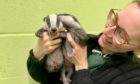 Five badger cubs are being cared for by the Scottish SPCA