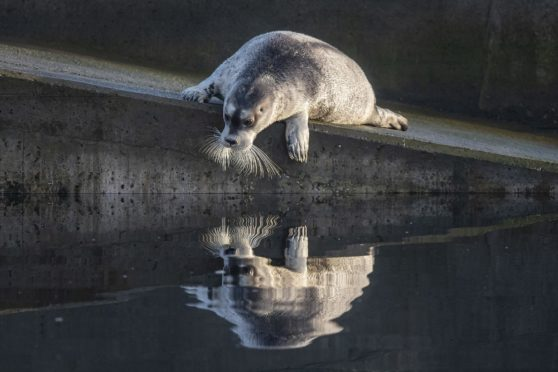 Austin Taylor's picture Bearded Seal at Hamnavoe Marina, which took first prize in the Scottish Wildlife Portrait category.
