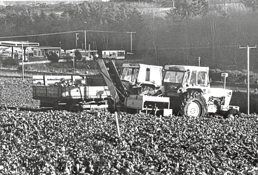 1978 - The lifting of turnips by mechanical means at Craibstone Farm, Bucksburn, in January