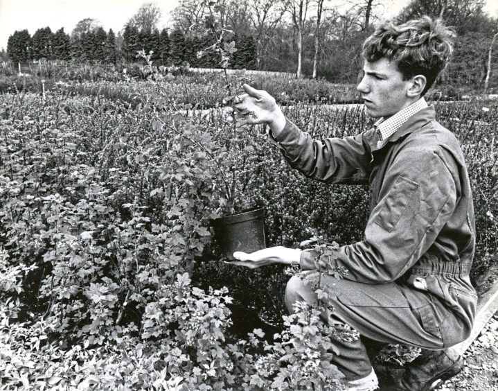1990: Nursery assistant David Taylor with some of the shrubs in the Findlay Clark nursery at Hazlehead Garden Centre.