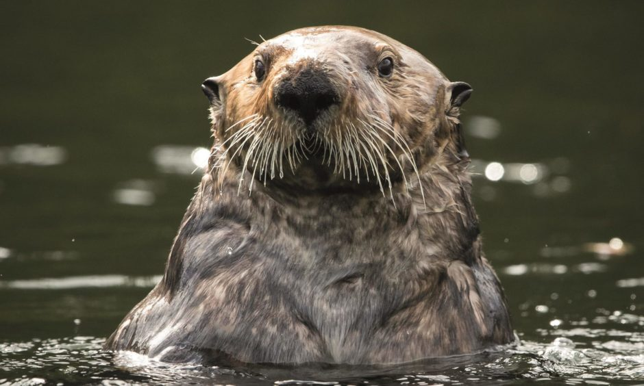 Andy Howard has brought the same attention to detail in his new work about the esoteric existence of otters around the north-east of Scotland.