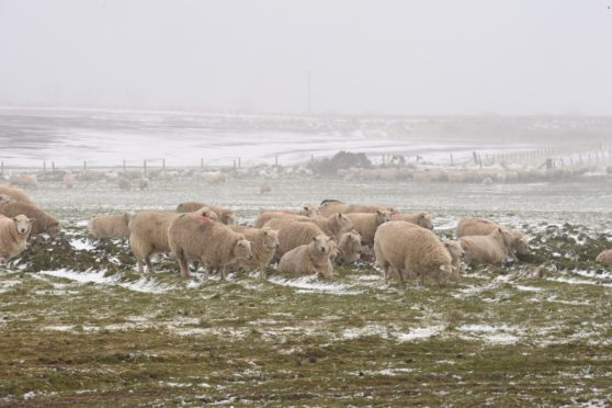 Sheep in a snowy field near Newburgh today. Picture by Scott Baxter