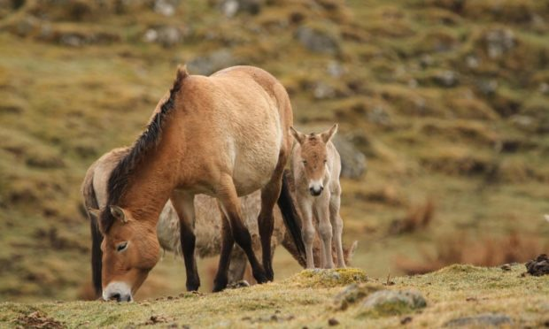 Two Przewalski's horse foals were born at the Highland Wildlife Park in April