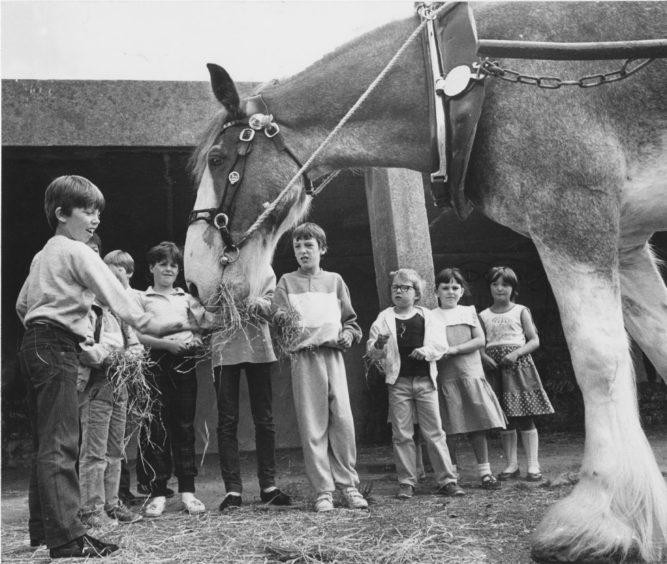 1986 - Jim the Clydesdale enjoys his day out at the Seaton Community Festival at the weekend as these children take their turn feeding him