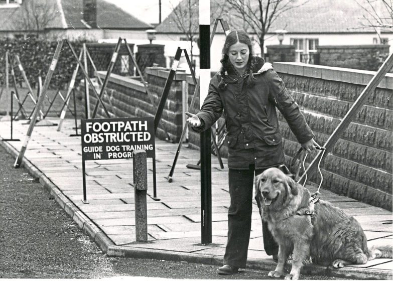 1980: Anne Suttie training a golden retriever at the Guide Dog Centre's obstacle course.