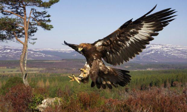 The golden eagle was found dead on the Invercauld estate near Braemar