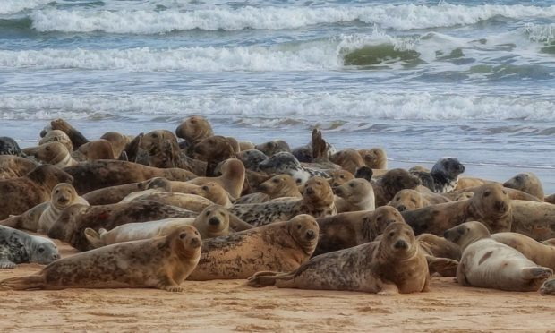 Grey Seal haulout at River Ythan. Photo by Martyn Gorman