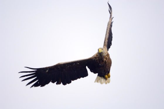 Adult white tailed eagle in flight. Picture by Lorne Gill, NatureScot